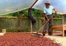 Japón interesado en cacao hondureño